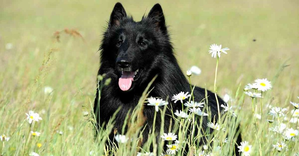 foto de perro de la raza pastor belga Groenendael