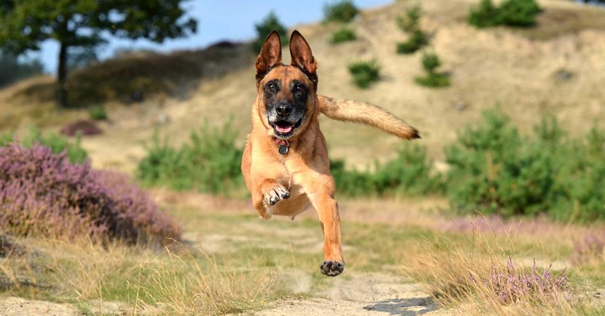 foto de perro pastor belga malinois, raza de perros grandes