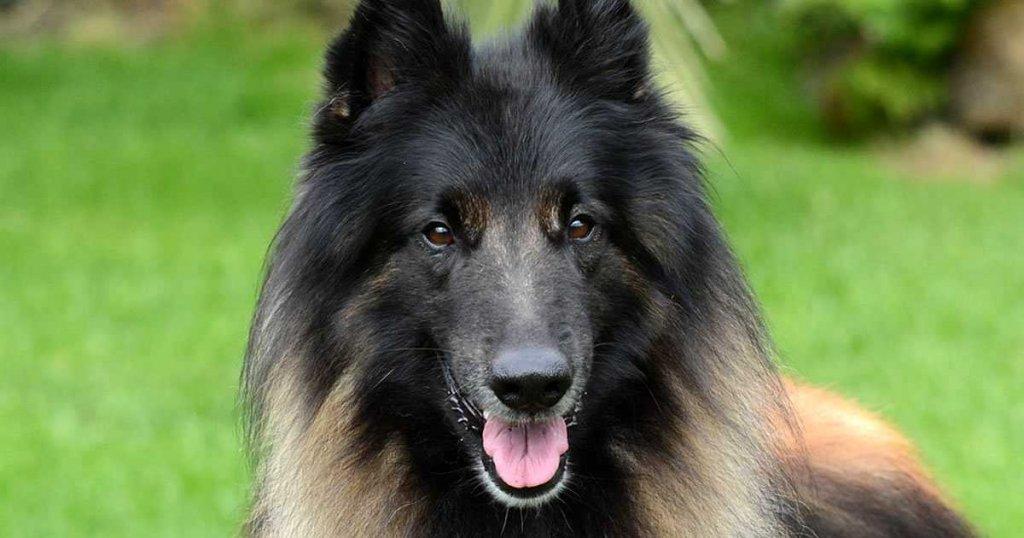 Pastor Belga Tervueren, características, colores, adiestramiento, raza de perros grandes