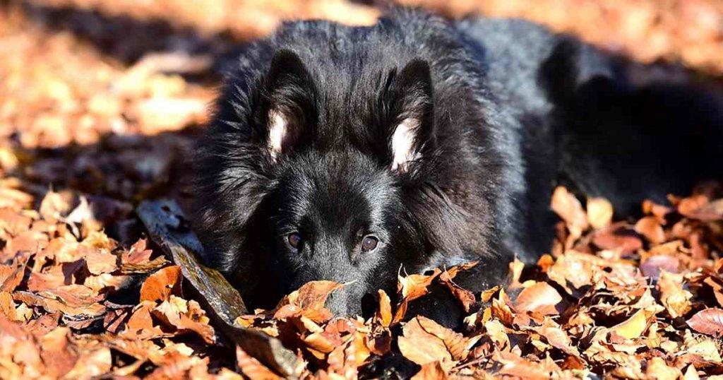 foto de perro pastor belga, raza de perros grandes