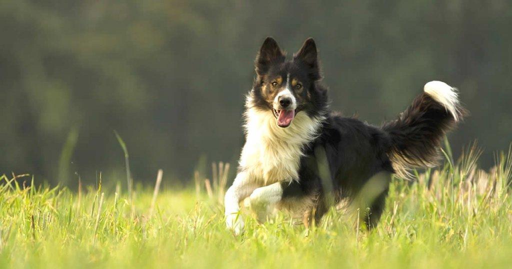 foto de border collie, razas de perros medianos y peludos