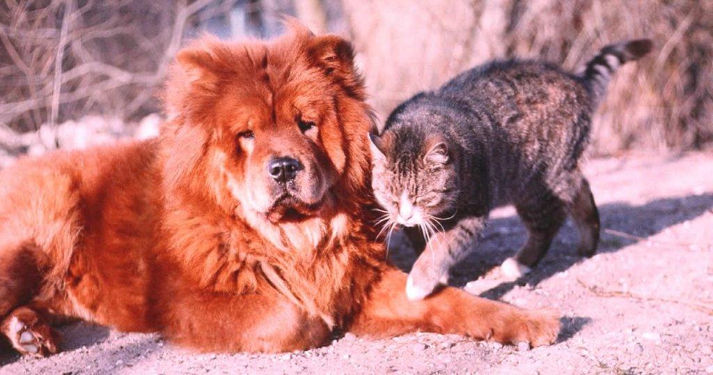 foto de perro chow chow, razas de perros peludos y medianos