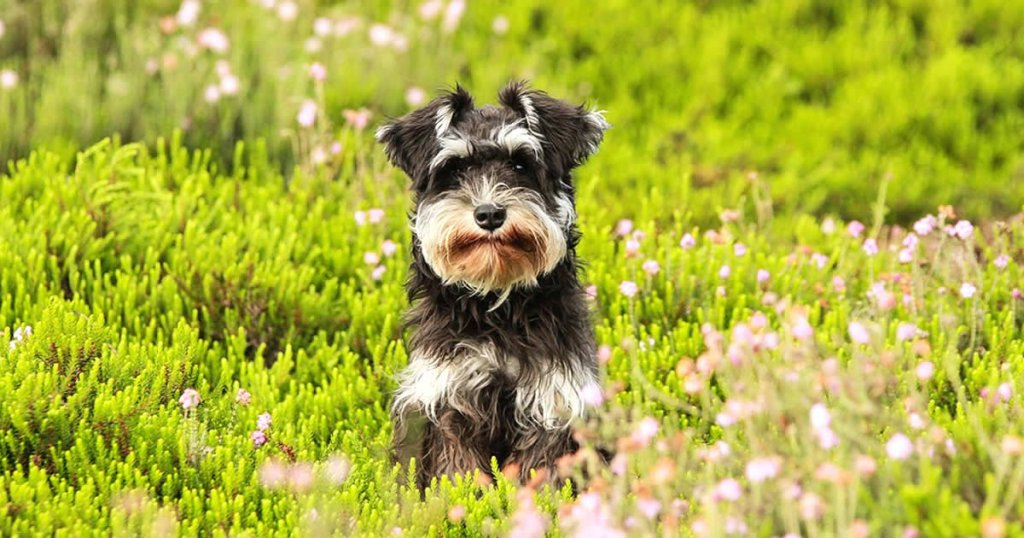 raza de perros peludos y medianos, schnauzer estandar