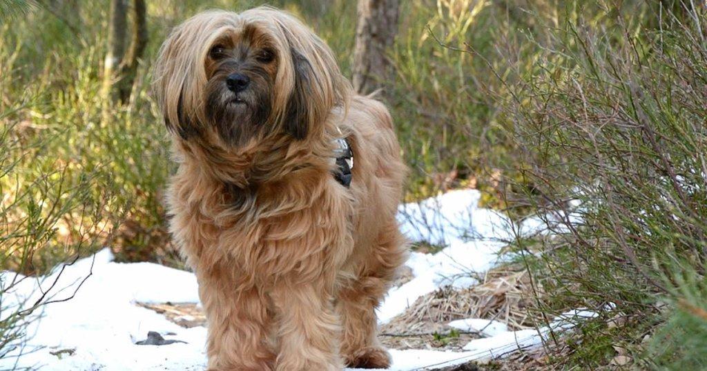 foto de terrier tibetano, razas de perros peludos y medianos