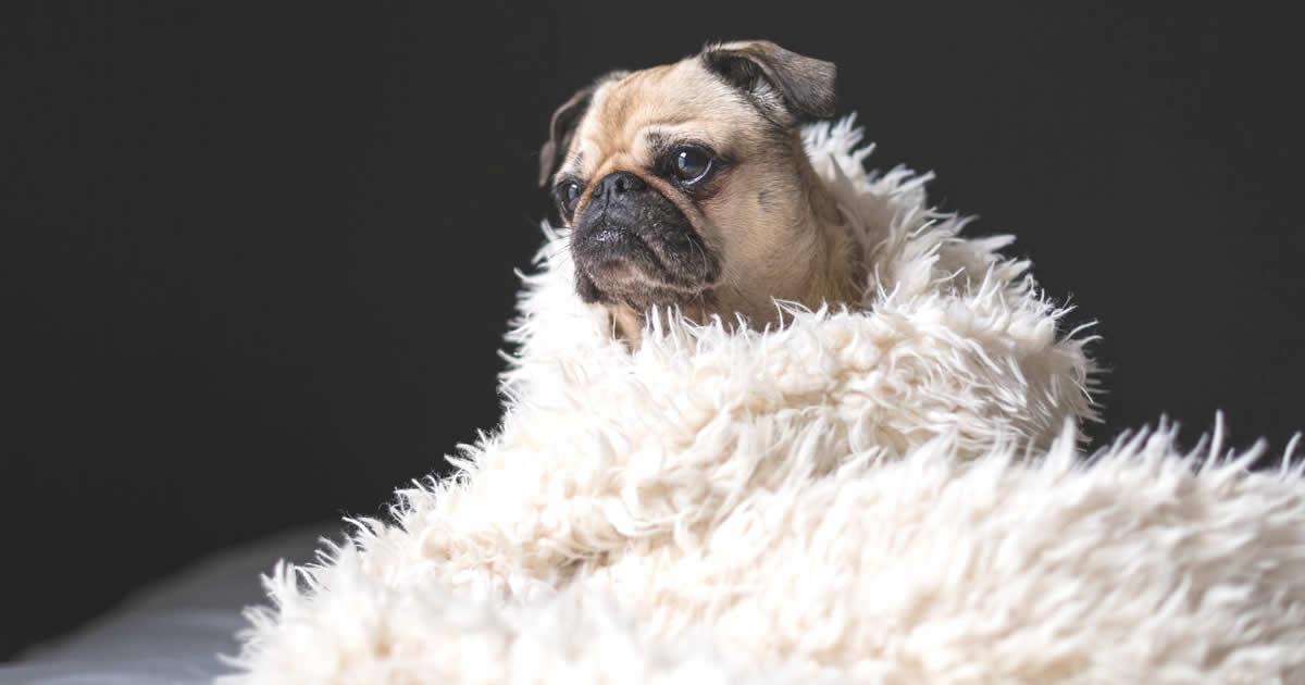 a los cuántos meses entra en celo una perra pug