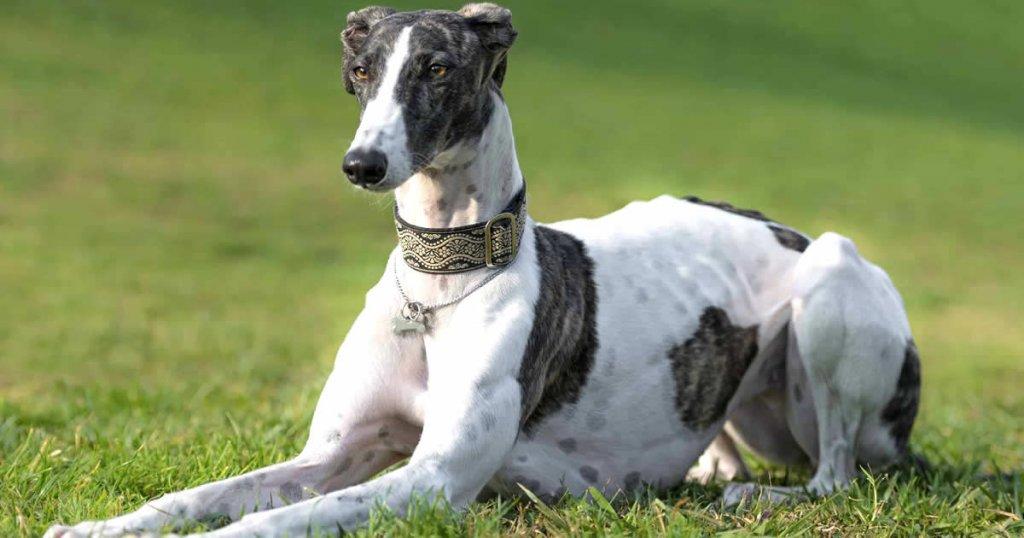 foto de galgo inglés o greyhound, tipos de razas de galgos