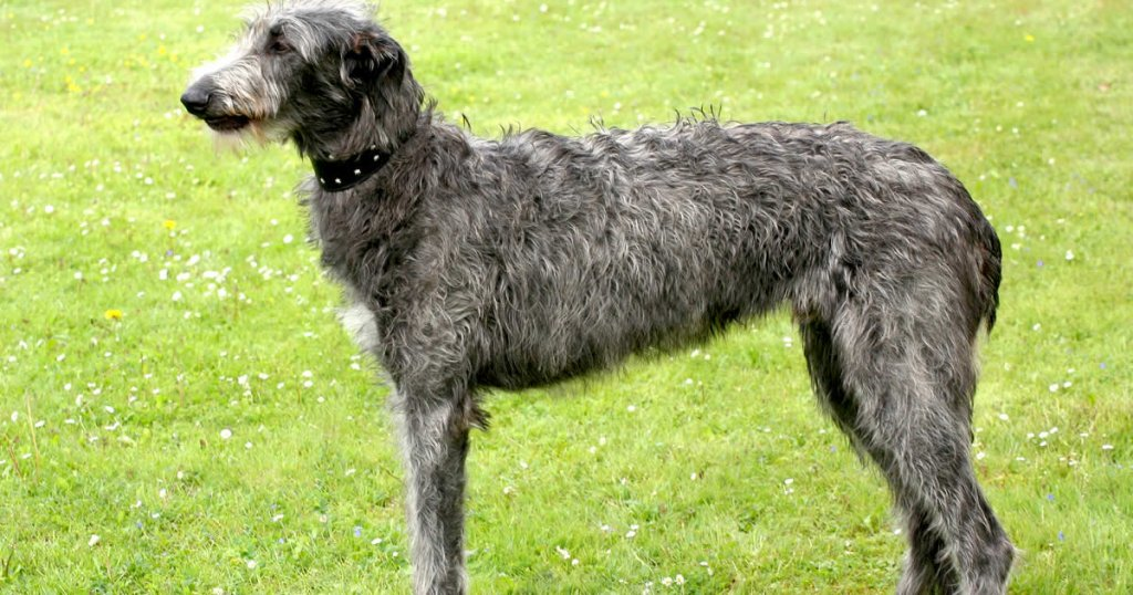 foto de galgo lebrel escocés o deerhound, tipos de razas de galgos