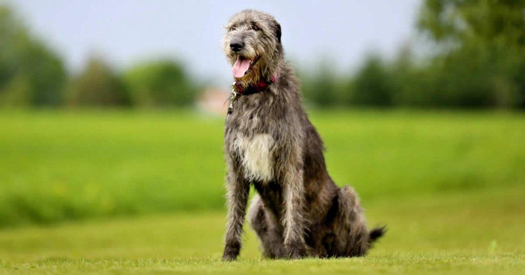 foto de galgo wolfhound, tipos de razas de galgos