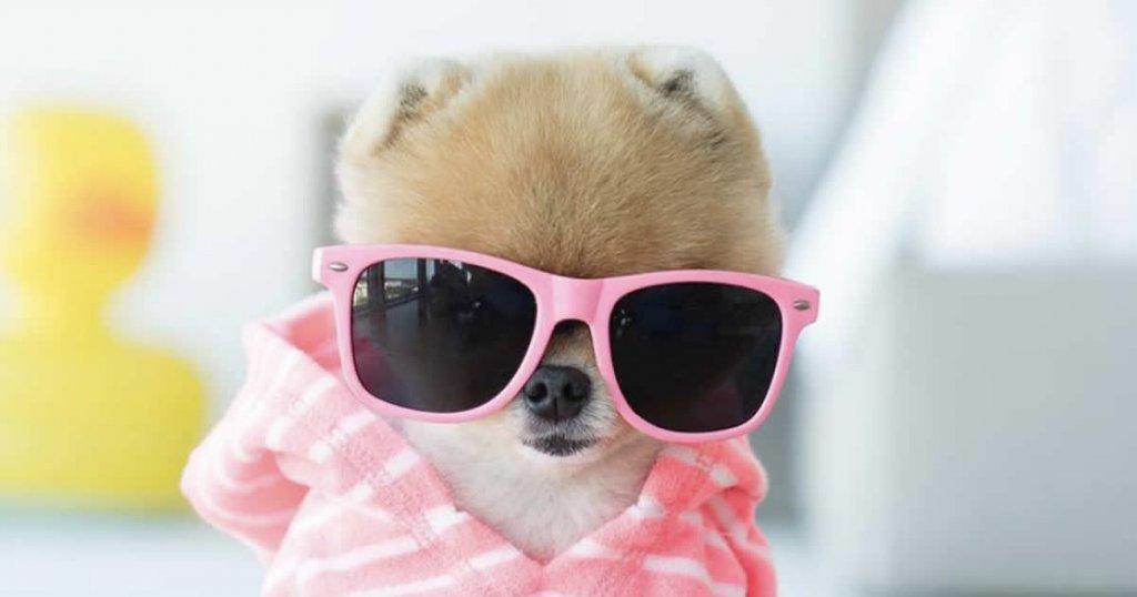 cuentas de perros famosos en instagram, jiff pom instagram