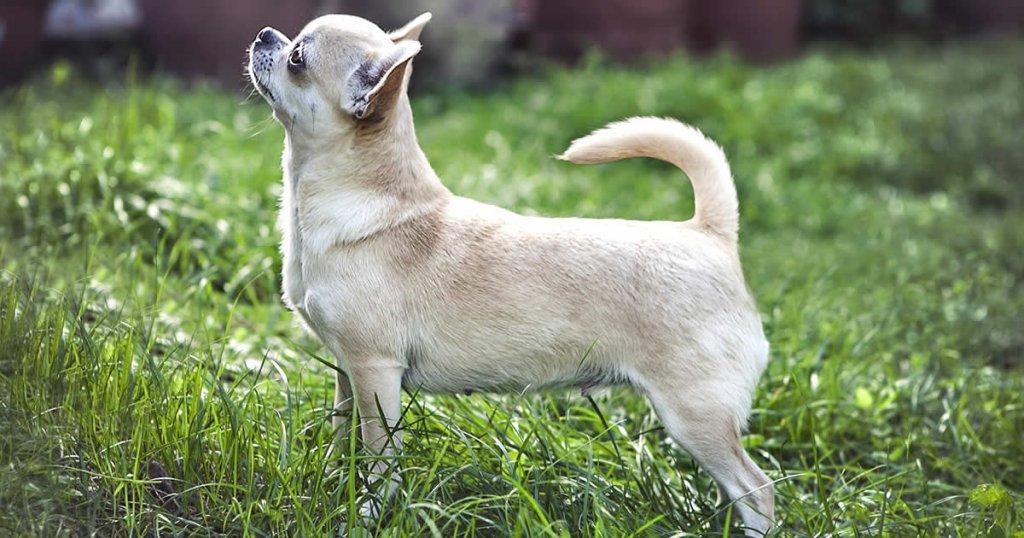 foto de perro chihuahua, razas de perros mexicanos