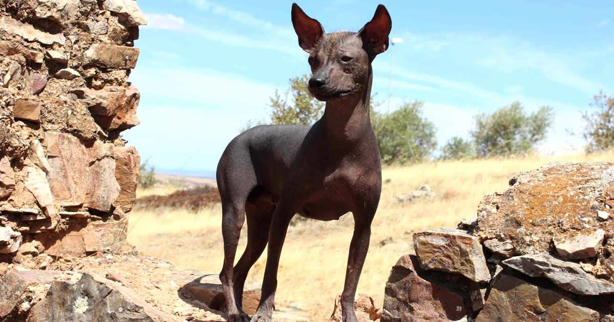 foto de perro Xoloitzcuintle, raza de perros mexicanos